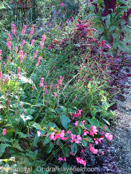 'Taurus' mountain fleeceflower (Persicaria amplexicaulis) with 'Dragon Wing Pink' begonia, great burnet (Sanguisorba officinalis) and 'Magilla' Purple' perilla (Perilla) at Hayefield