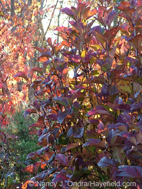 Viburnum opulus var. americanum 'Bailey Compact' fall color at Hayefield