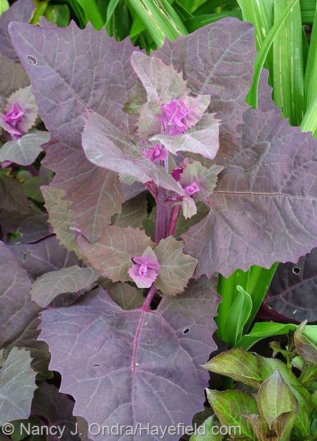 Atriplex hortensis 'Rubra' at Hayefield