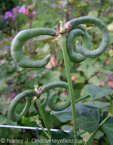 Vigna unguiculata 'Pretzel Bean' at Hayefield