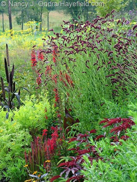 Sanguisorba tenuifolia 'Purpurea' at Hayefield