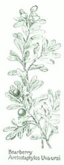 Arctostaphylos