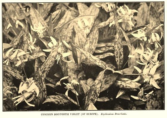 Erythronium dens-canis
