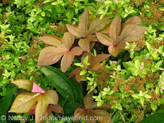 Ipomoea batatas 'Sweet Caroline Bronze' with Spiraea japonica 'Goldmound' at Hayefield