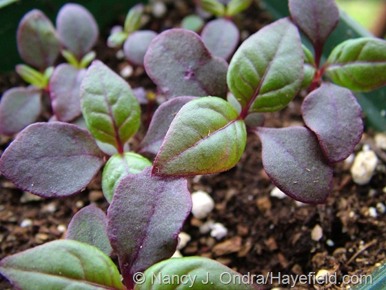 Indoor-sown seedlings of Alternanthera dentata 'Purple Knight' at Hayefield