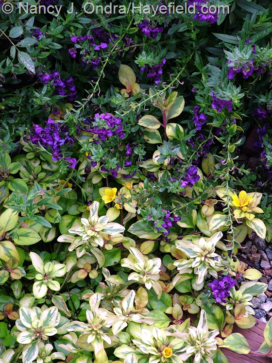 Angelonia 'Angelface Blue' with Lysimachia congestiflora 'Outback Sunset' at Hayefield.com