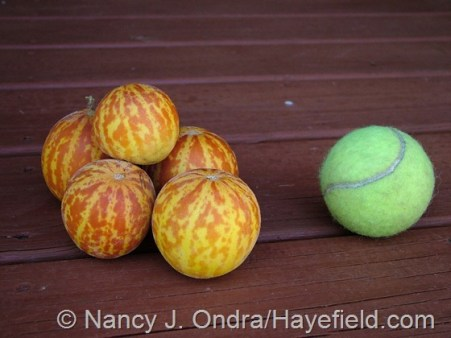 Plum granny (Queen Anne's pocket melon) [Nancy J. Ondra/hayefield.com]