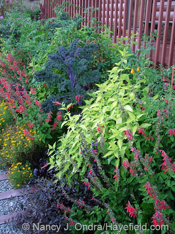 'Lady in Red' Texas or hummingbird sage (Salvia coccinea), 'Golden Gem' signet marigold (Tagetes tenuifolia), 'Golden Delicious' pineapple sage (Salvia elegans), 'Redbor' kale, and 'Yellow Pear' and 'Sweet 100' tomatoes at Hayefield.com