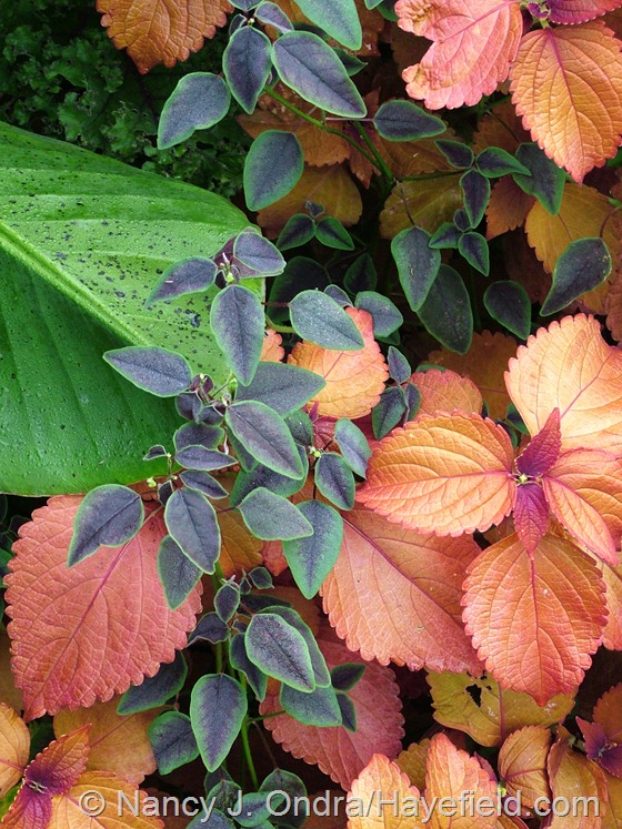 Coleus 'Sedona' with Euphorbia 'Flame Leaf' and Musa zebrina at Hayefield.com