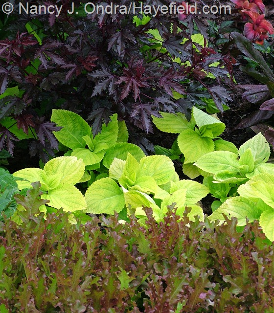 Lettuce 'Mascara' with Coleus 'Giant Exhibition Limelight' and Hibiscus acetosella 'Maple Sugar' at Hayefield.com