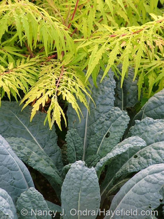 Kale 'Lacinato' ('Nero di Toscana') with Rhus typhina 'Bailtiger' [Tiger Eyes] at Hayefield.com
