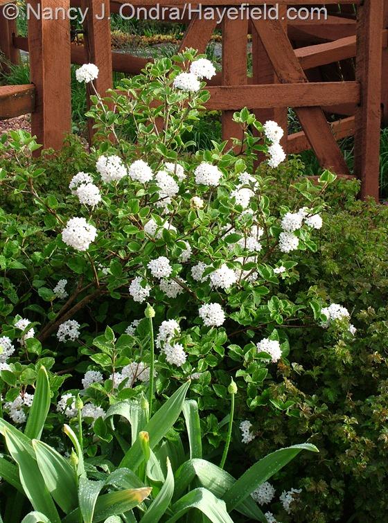 Viburnum carlesii 'Compactum' at Hayefield.com