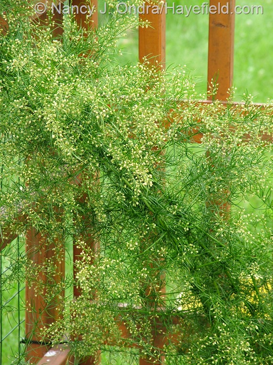 Asparagus verticillatus at Hayefield.com