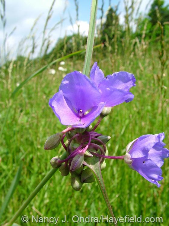 Tradescantia ohiensis at Hayefield.com