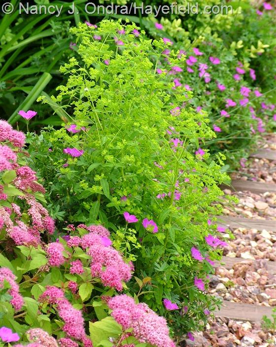 Euphorbia 'Golden Foam' with Spiraea 'Walbuma' [Magic Carpet] and Geranium sanguineum 'New Hampshire Purple' at Hayefield.com