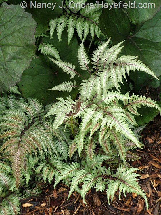 Athyrium niponicum var. pictum with Ligularia dentata 'Othello' at Hayefield.com