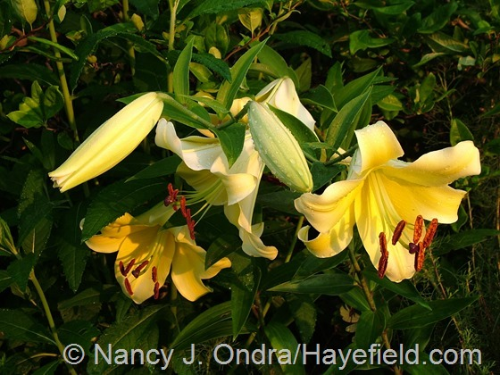 Lilium 'Conca d'Or' at Hayefield.com