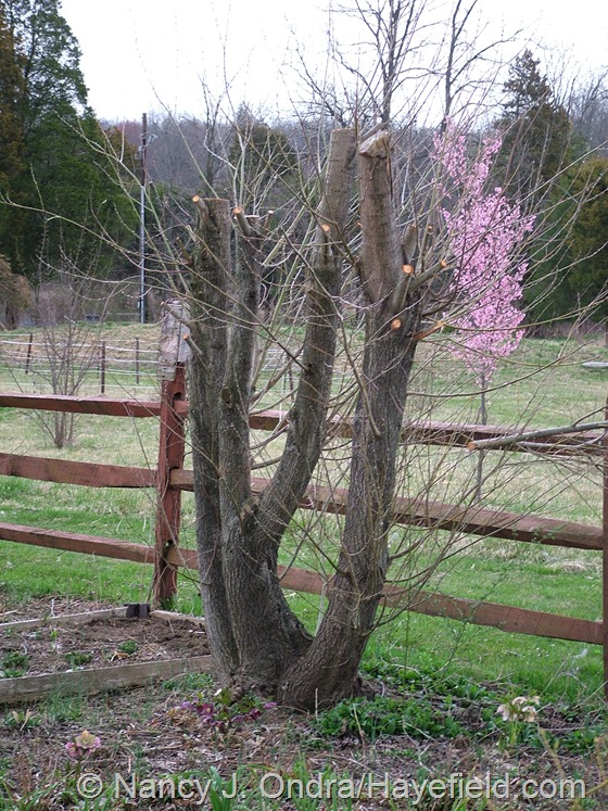 Salix alba var. sericea after cutting back April 10 1013 at Hayefield.com