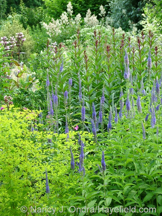 Veronica grandis, Euphorbia 'Golden Foam', and Veronicastrum virginicum 'Erica' foliage at Hayefield.com