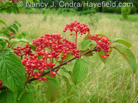 Viburnum plicatum in fruit at Hayefield.com