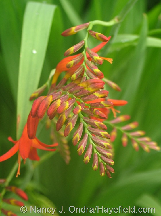 Crocosmia 'Lucifer' at Hayefield.com