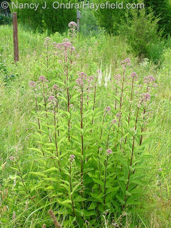 Eutrochium (Eupatorium) purpureum with Veronicastrum virginicum in meadow at Hayefield.com