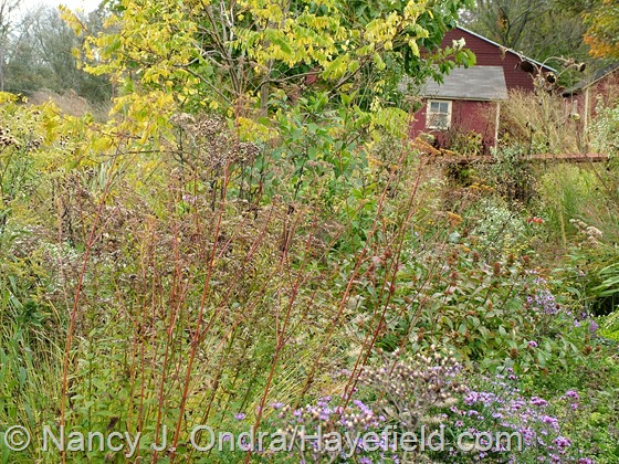 Patrinia scabiosifolia fall seedheads at Hayefield.com