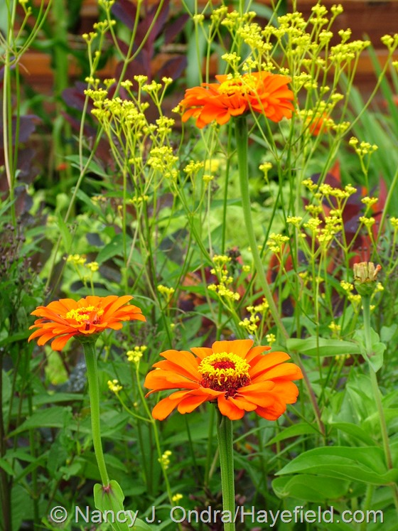 Zinnia 'Orange King' with Patrinia scabiosifolia at Hayefield.com