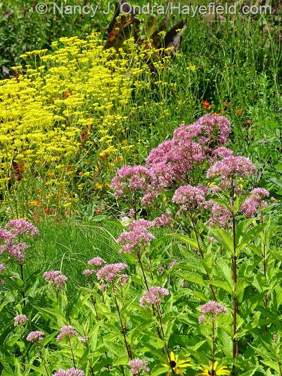 Patrinia scabiosifolia with Eutrochium purpureum subsp. maculatum at Hayefield.com