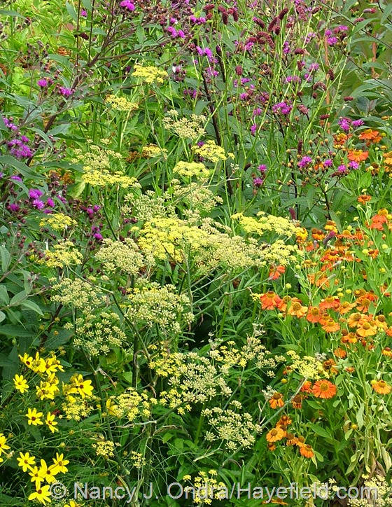 Foeniculum vulgare with Helenium, Coreopsis, and Vernonia at Hayefield.com