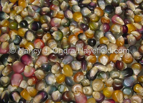 Corn 'Glass Gem' at Hayefield.com