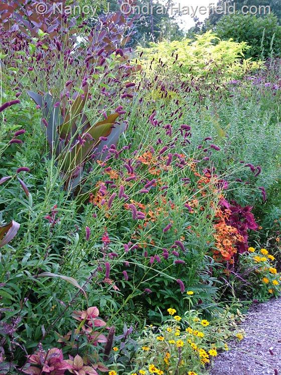 Sanguisorba tenuifolia in front garden middle path border at Hayefield.com