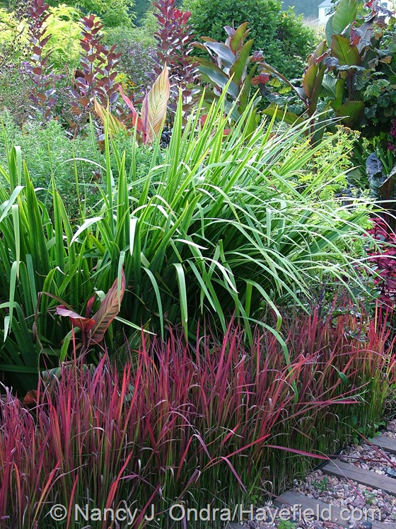 Imperata cylindrica 'Rubra' with Iris 'Gerald Darby' at Hayefield.com