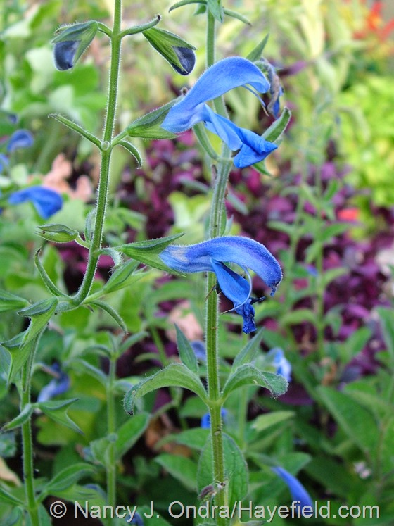 Salvia patens 'Patio Deep Blue' at Hayefield.com