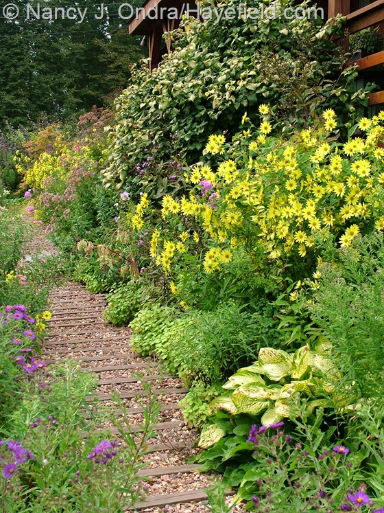 Side garden foundation planting with Viburnum lantana 'Aureum' and Helianthus 'Lemon Queen' at Hayefield.com