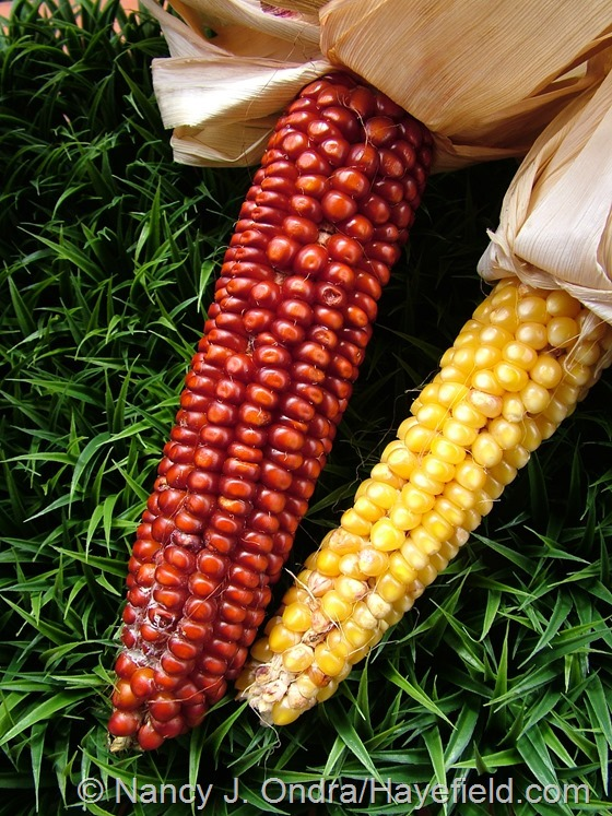 Corn 'Tall Tiger' at Hayefield.com