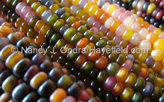 Zea mays 'Glass Gem' corn at Hayefield.com