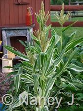 Zea mays 'Tiger Cub' (corn) at Hayefield.com