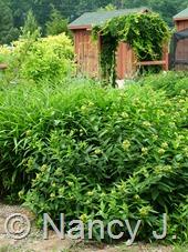 Diervilla sessilifolia at Hayefield.com