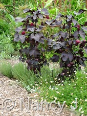 Gossypium herbaceum 'Nigra' at Hayefield.com