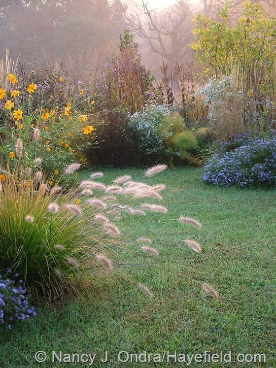 Pennisetum alopecuroides 'Cassian' and Cosmos sulphureus in The Shrubbery at Hayefield.com