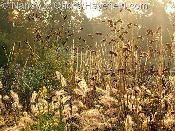 Sanguisorba tenuifolia 'Purpurea' with Pennisetum alopecuroides 'Cassian' at Hayefield.com
