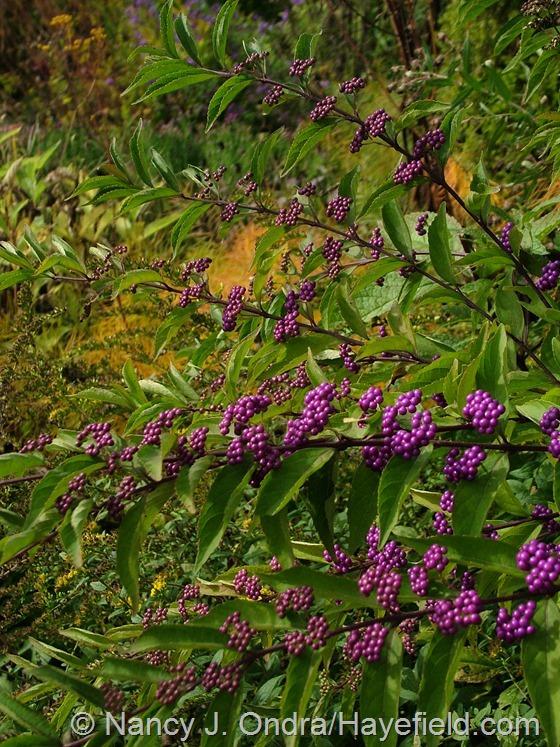 Callicarpa dichotoma 'Issai' at Hayefield.com