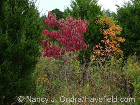 Cornus florida in fall color at Hayefield.com