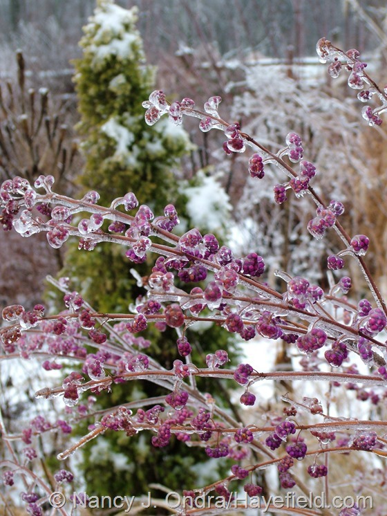 Callicarpa dichotoma 'Issai' on ice at Hayefield.com