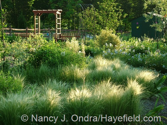 Side Garden with Stipa tenuissima May 20 2012 at Hayefield.com