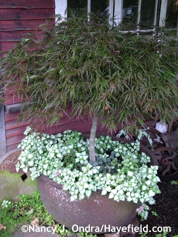 Lamium maculatum with Acer palmatum dissectum at Hayefield.com