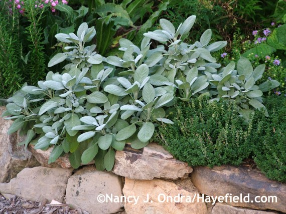 Salvia officinalis 'Berggarten' with Thymus x citriodorus at Hayefield.com