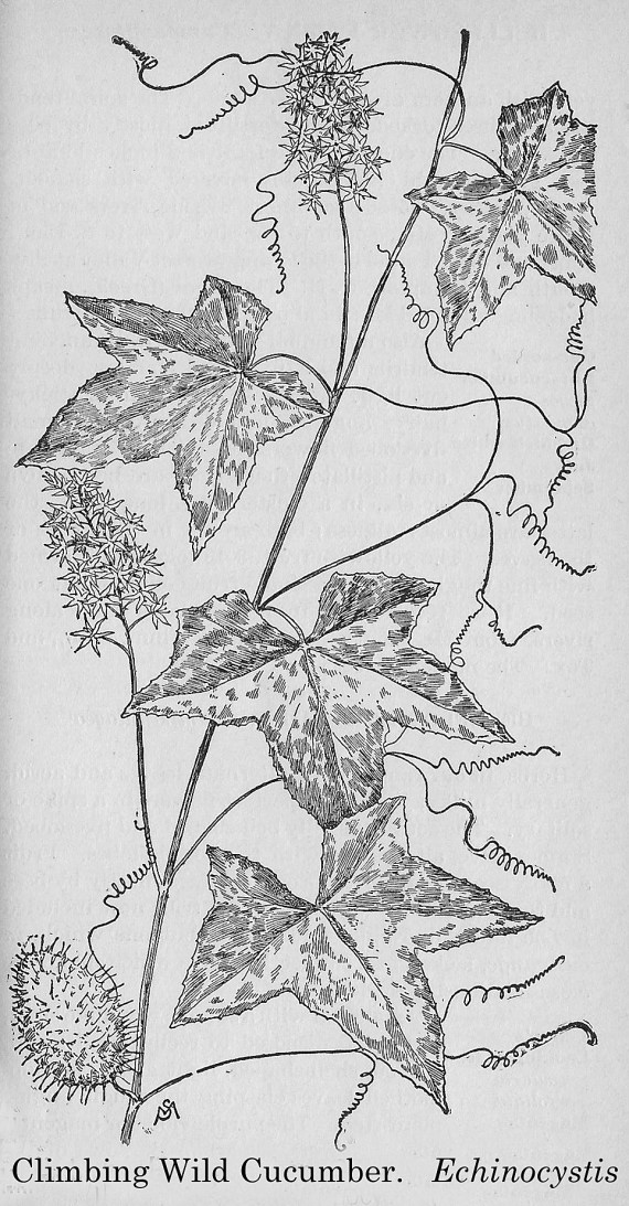 Echinocystus lobata