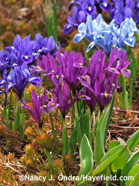 Iris reticulata Rock Garden Mixture at Hayefield.com